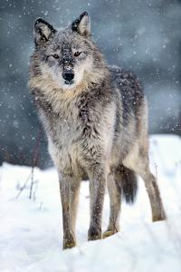 Gray Wolf in Falling Snow, Montana by Tim Fitzharris