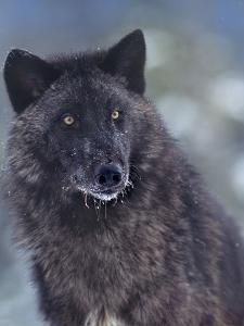Gray Wolf in Snow, Montana by Tim Fitzharris