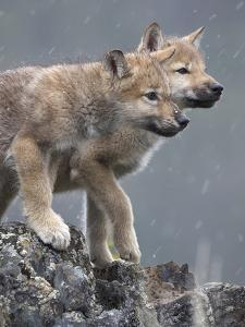 Gray Wolf Pups in Snow, Montana by Tim Fitzharris
