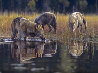 Gray Wolves by a River, Montana