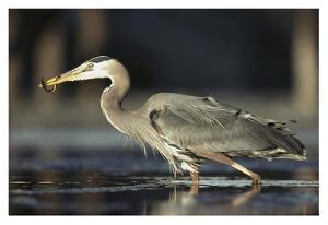 Great Blue Heron with captured fish, British Columbia, Canada by Tim Fitzharris