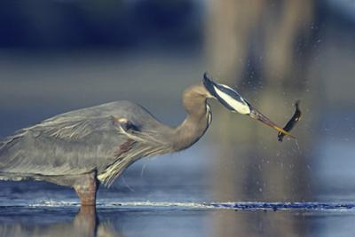 Great Blue Heron with Eel, British Columbia Canada by Tim Fitzharris