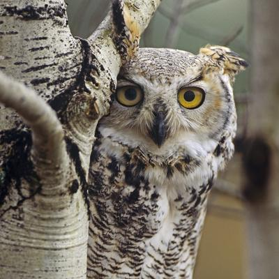 Great Horned Owl Pale Form, British Columbia, Canada