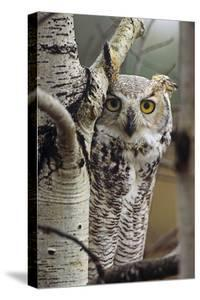 Great Horned Owl Pale Form, British Columbia, Canada by Tim Fitzharris