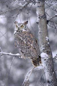 Great Horned Owl perched in tree dusted with snow, British Columbia, Canada by Tim Fitzharris