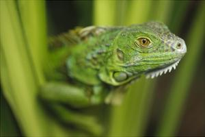 Green Iguana amid green leaves, Roatan Island, Honduras by Tim Fitzharris