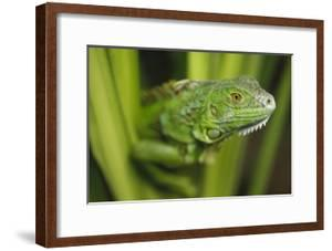 Green Iguana amid green leaves, Roatan Island, Honduras by Tim Fitzharris