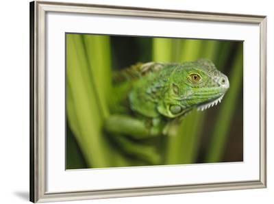 Green Iguana amid green leaves, Roatan Island, Honduras
