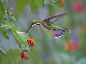 Green-throated mango Hummingbird, Yerette, Trinidad. � by Tim Fitzharris