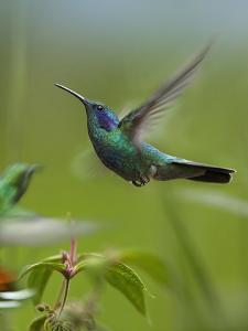 Hummingbirds Photographic Prints Art Prints Paintings Posters Wall Art Art Com