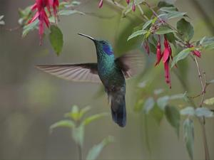Green Violet-ear hummingbird foraging, Costa Rica by Tim Fitzharris