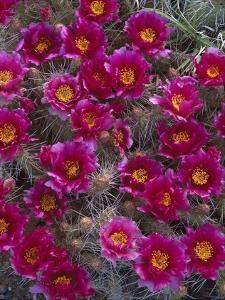 Grizzly Bear Cactus in bloom, North America by Tim Fitzharris