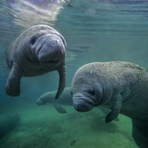Group of West Indian Manatees, Crystal River, Florida, USA by Tim Fitzharris