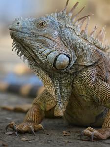 Headshot of a Green Iguana, Costa Rica, Summer by Tim Fitzharris