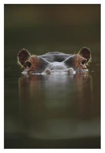 Hippopotamus at water surface, Tanzania by Tim Fitzharris