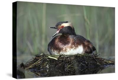 Horned Grebe parent calling while incubating eggs on floating nest, North America