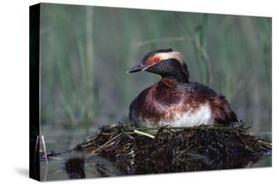 Horned Grebe parent incubating eggs on floating nest, North America