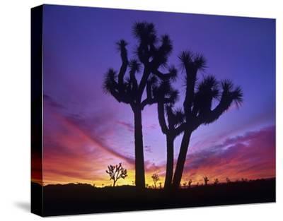 Joshua Trees at sunrise near Quail Springs, Joshua Tree National Park, California