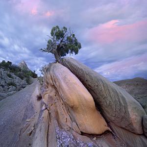 Juniper Tree in Split Rock, Dinosaur National Monument, Utah by Tim Fitzharris