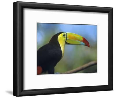 Keel-Billed Toucan, Honduras