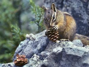 Least Chipmunk Eating a Cone, Montana, Usa by Tim Fitzharris
