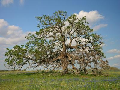 Live Oak, Atascosa County, Texas by Tim Fitzharris
