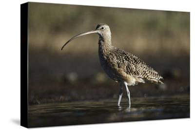 Long-billed Curlew wading, North America