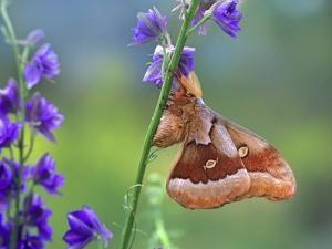 Male Polyphemus Moth, New Mexico, Usa by Tim Fitzharris