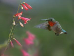 Male Ruby-throated Hummingbird Arkansas, USA by Tim Fitzharris