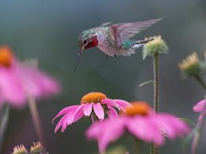 Male Ruby-throated Hummingbird foraging for nectar, Arkansas by Tim Fitzharris