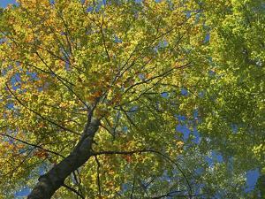 Maple Tree Canopy, Lackawanna State Park, Pennsylvania, Usa by Tim Fitzharris