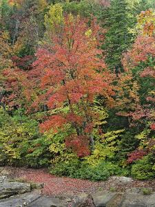 Maples and Beech Trees in Fall, White Mountains National Forest, New Hampshire, Usa by Tim Fitzharris