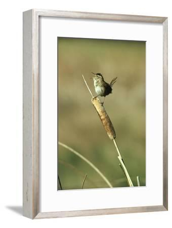 Marsh Wren singing while perching on a Common Cattail, Alberta, Canada