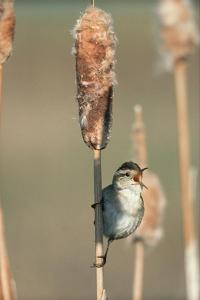 Marsh Wren singing while perching on a Common Cattail, North America by Tim Fitzharris