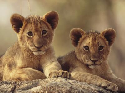 African Lion (Panthera Leo) Cubs Resting on a Rock, Hwange National Park, Zimbabwe, Africa by Tim Fitzharris/Minden Pictures