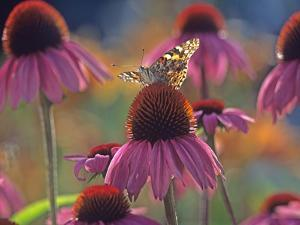American Painted Lady (Cynthia Virginiensis) Butterfly on Coneflower (Echinacea Sp.), New Mexico by Tim Fitzharris/Minden Pictures