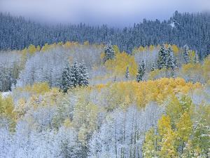 Aspen (Populus Tremuloides) and Spruce (Picea Sp), Rocky Mountain Nat'l Park, Colorado by Tim Fitzharris/Minden Pictures