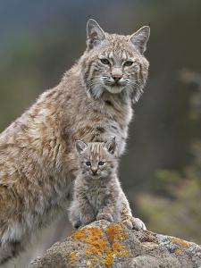 Bobcat (Lynx Rufus) Mother and Kitten, North America by Tim Fitzharris/Minden Pictures