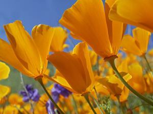 California Poppy (Eschscholzia Californica) Flowers, Antelope Valley, California by Tim Fitzharris/Minden Pictures