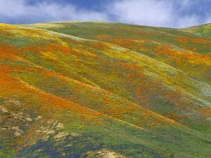 California Poppy (Eschscholzia Californica) Hillside, Tehachapi Hills Near Gorman, California by Tim Fitzharris/Minden Pictures