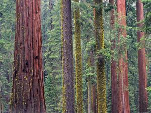 Coast Redwood (Sequoia Sempervirens) Trees, Mariposa Grove, Yosemite National Park, California by Tim Fitzharris/Minden Pictures
