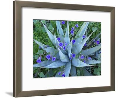 Desert Bluebell (Campanula Rotundifolia) and Agave (Agave Sp.) North America