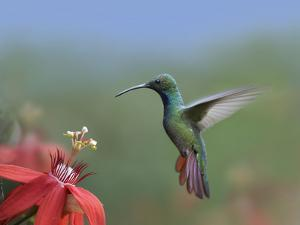Green-Breasted Mango (Anthracothorax Prevostii) Hummingbird Male Foraging, Costa Rica by Tim Fitzharris/Minden Pictures