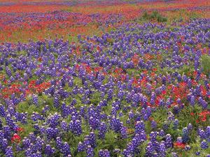 Hill Country Wildflowers, Sand Bluebonnets (LupinusSubcarnosus), Paintbrush (Castilleja Sp.), Texas by Tim Fitzharris/Minden Pictures