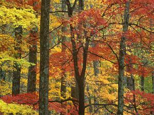 Maple (Acer Sp.) Trees in Autumn, Great Smoky Mountains National Park, Tennessee by Tim Fitzharris/Minden Pictures