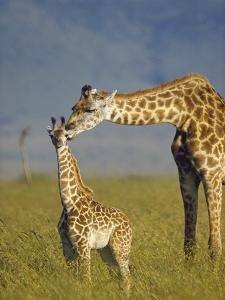 Masai Giraffe (Giraffa Camelopardalis Tippelskirchi) Mother and Young, Kenya by Tim Fitzharris/Minden Pictures