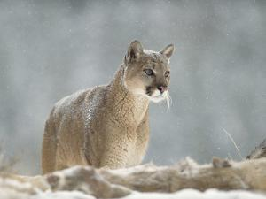 Mountain Lion or Cougar (Felis Concolor) Standing in Snow Bank, Montana by Tim Fitzharris/Minden Pictures
