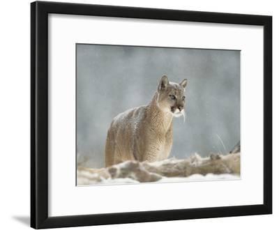 Mountain Lion or Cougar (Felis Concolor) Standing in Snow Bank, Montana