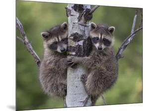 Raccoon (Procyon Lotor) Two Babies Climbing Tree, North America by Tim Fitzharris/Minden Pictures