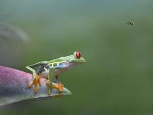 Red-Eyed Tree Frog (Agalychnis Callidryas) Eyeing Bee Fly (Bombyliidae) Costa Rica by Tim Fitzharris/Minden Pictures